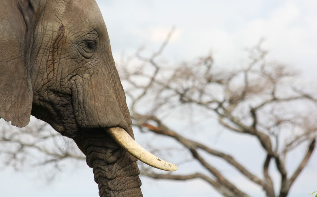 Africa's illegal ivory trade