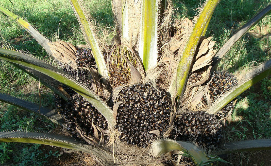 The battle for sustainable palm oil